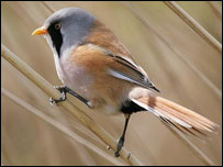 Bearded Tit - pic courtesy of Dean Eades