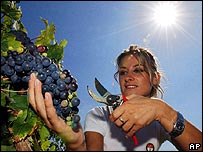 A vintner picks grapes in Tuscany
