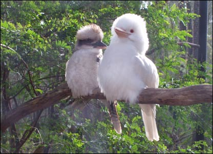 Cute Kookaburra Wild bird/small animals/pictures of /species/collection/posters