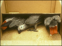 African Grey Parrots on sale  Image: RSPB