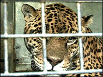 Sovereign the jaguar