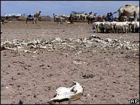 Bones of cattle which died during 1996 drought in Hadado, northern Kenya