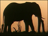 Silhouette of an African elephant