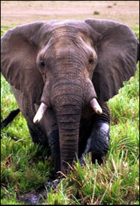 42248800 elephant300bbc Hunting has conservation role