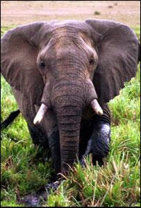 African Elephant (Image: BBC)
