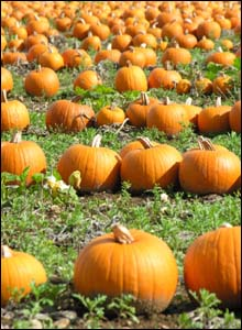 Pumpkin field in Southampton