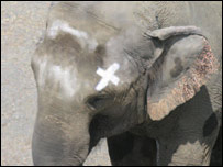 'Happy' the elephant with X-shaped mark on her head (PNAS)