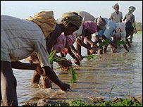 Indian rice farmers