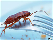Cockroach on fork (Gusto/ Science Photo Library)