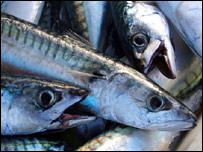 Mackerel (BBC)
