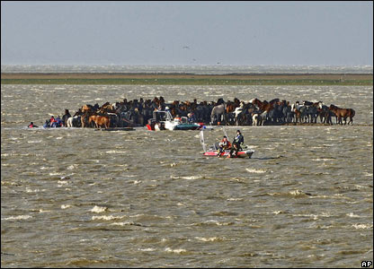 Stranded horses in Marrum, the Netherlands