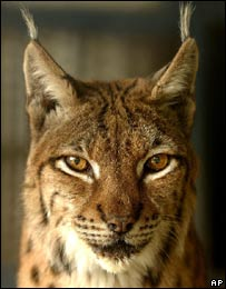 Carpatian lynx, thought to be a relative of the Balkan lynx