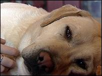 Troy - Labrador contro pitbull