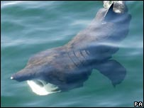 Basking Shark - PA