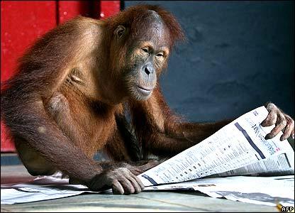 Ningsih, a four-year-old orang-utan, plays with a newspaper