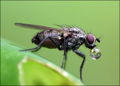 Simon Williams took this close-up shot of a house-fly having a drink in his garden in Pontprennau, Cardiff