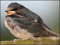 A swallow (pic by RSPB Scotland)