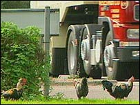 Chickens on roundabout