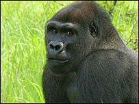 Bangha the gorilla (Image: John Aspinall Foundation)