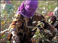 Tajik woman picking cotton