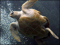Loggerhead turtle (Image: BBC)