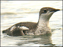 Murrelet