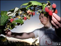 Raspberry picking in Northumberland