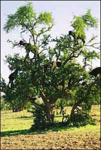 شجرة الأرغان النادرة الموجودة المغرب _42331007_kifah_tree