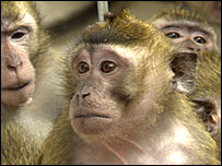 Macaques used in viral studies s(RDS/Wellcome Trust)