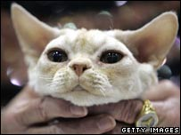 Devon Rex kitten, Cat Fanciers International Cat Show
