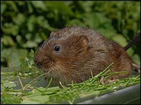 Water vole. Picture: British Waterways