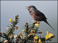 Dartford Warbler, courtesy of the RSPB