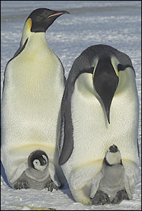 Emperor penguins (Fred Olivier)