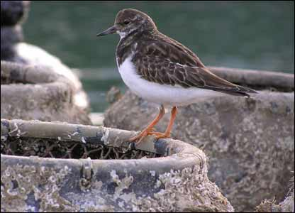 A turnstone on lobster pots on the quayside at Tenby harbour (Ian Gardiner)