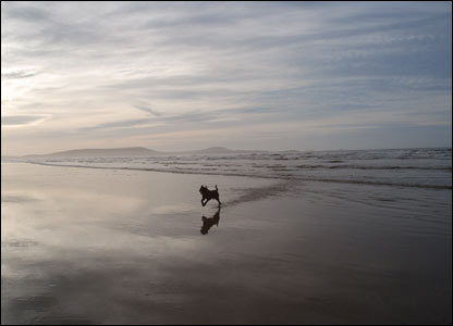 A young sea dog (Major) enjoying the open space of Cefn Sidan Beach (Neil Hopkins)