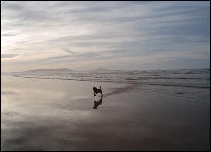 A young sea dog (Major) enjoying the open space of Cefn Sidan Beach (Neil Hopkins)