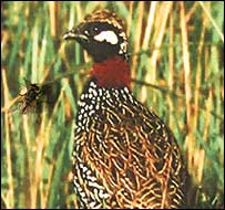 Black partridge