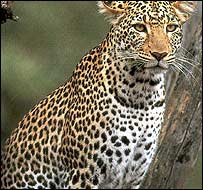 Attacks by leopard are reported to have risen