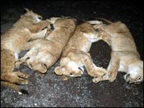 Dead lion cubs