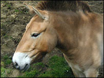 Mongolian horse (image courtesy of the Zoological Society of London)