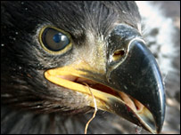 Sea eagle chick (Pic: Iain Erskine)