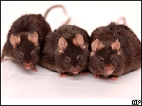 Mice (file image)