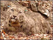 Snow leopard (Snow Leopard Trust)