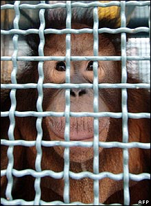 An Orang-utan in a temporary cage in Palangkaraya-Kalimantan on 22 November 2006