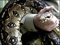 Boa constrictor (file photo)
