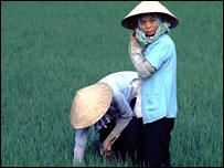 Women gathering rice in paddy field in Vietnam
