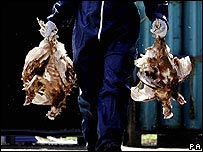 Dead chickens being removed from a farm in Norfolk, England