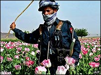 An Afghan police officer eradicates the poppy crops during an operation against the opium crop in Sanzeri village near Kandahar, Afghanistan on Tuesday, April 19, 2005