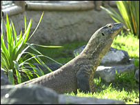 Flora the Komodo dragon (Chester Zoo archives) 