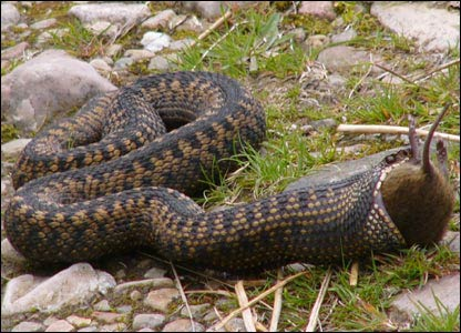 Adder eating a mouse